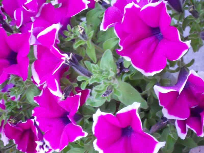 Petunia grandiflora 2
