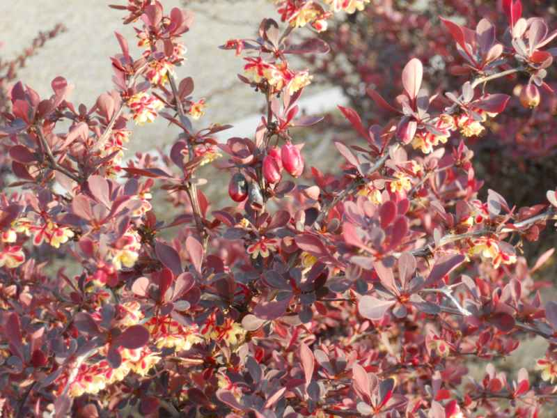 Berberis thunbergii 'Atropurpurea Nana' flor 2