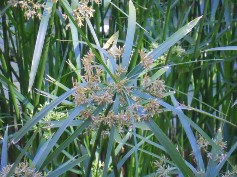 Cyperus alternifolius detalle 1