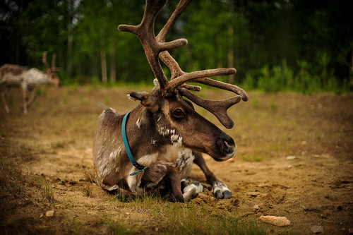 Arctic Reindeer | by goingslowly