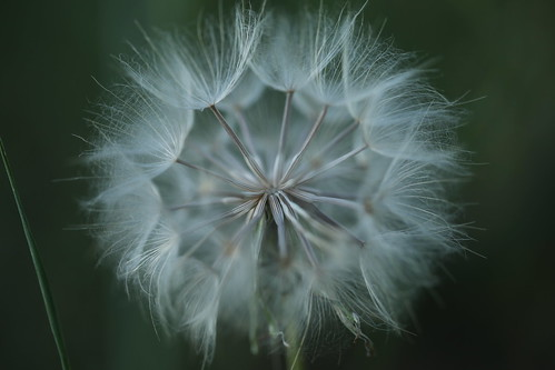 Common Dandelion | by A. v. Z.