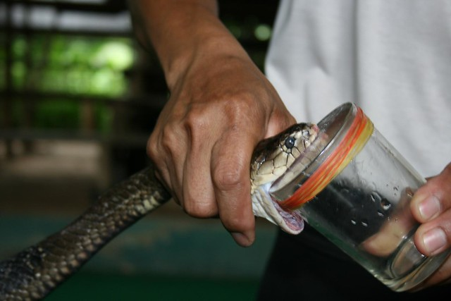 Those mothers actually had venom - Snake farm, Chiang Mai