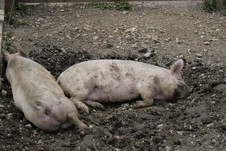 Pigs in muck | by Lee Turner
