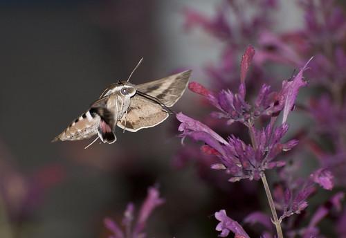 nikon colorado hummingbird hawk moth coloradosprings hyleslineata d300 agastache hummingbirdmint whitelinedsphinx afsvrzoomnikkor70300mmf4556gifed agastachedesertsunrise hybridhummingbirdmint darinziegler