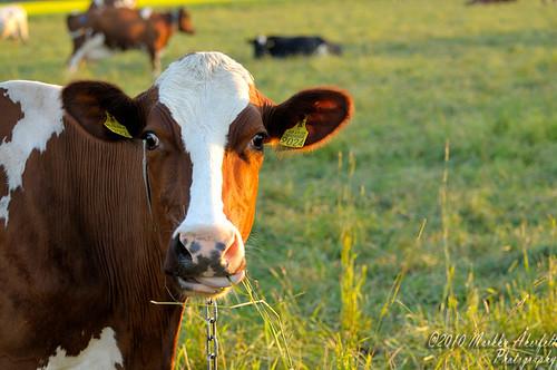 Cow   by maraker
