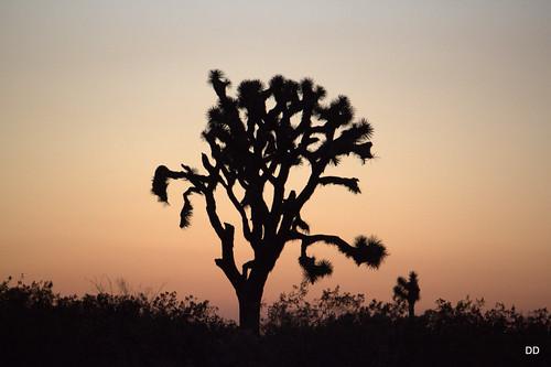 california joshua joshuatree yuccabrevifolia victorville brevifolia daviddoan davidadoan californisjoshuatree