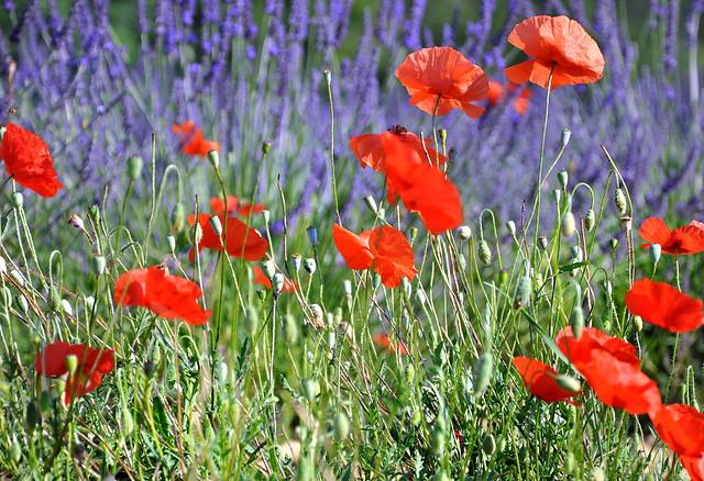 Sur fond de lavandes - Saint-Jeannet (Alpes-de-Haute-Provence)