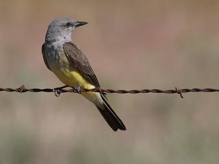 Kingbird | by Ingrid Valda Taylar