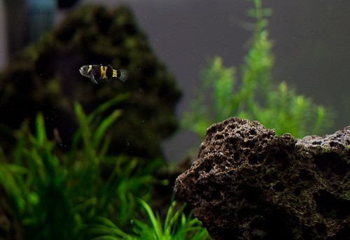 Bumble Bee Goby   by tysonmartens