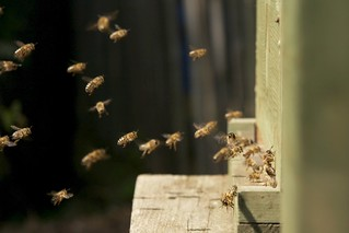 Bienenflug bei der Lindenblüte | by blumenbiene