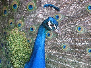 ndian Peafowl or Blue Peafowl (Pavo cristatus) | by magdalena_b