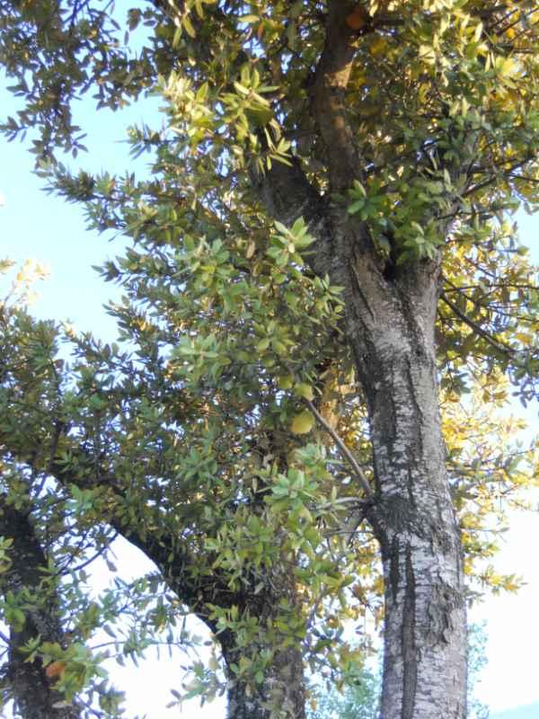 Quercus suber v 5