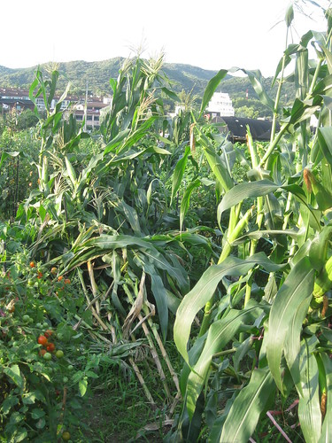 Maize fallen down :-( | by newflower