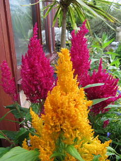 Celosia | by wallygrom