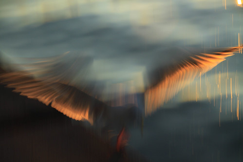 sunset motion blur beach water silhouette seagull gull landing alkibeach backlit icm cameramovement flappingwings wingfeathers canoneos50d intentionalcameramovement michaelrollins ahndheld rightinfrontofmemaybe4feetaway