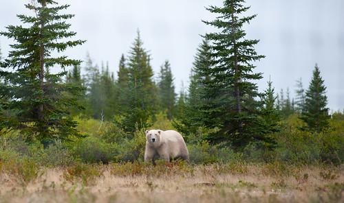 Polar Bear at Nanuk Lodge