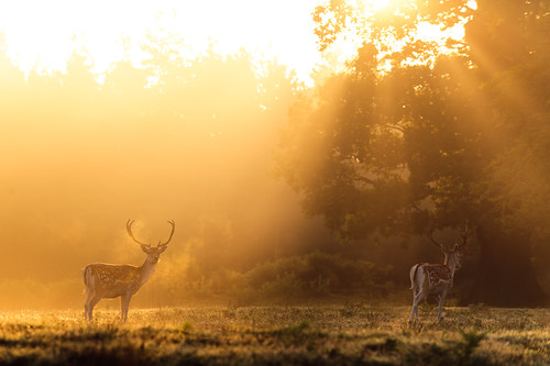 lighting morning trees light summer england sun mist nature misty fog fairytale forest sunrise golden countryside kent woods nikon wildlife warmth deer ethereal rays sunrays wonderland storybook magical 70200 f28 enchanted d3