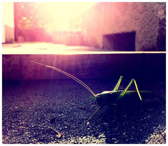 A grasshopper's life