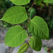 Japanese Knotweed - Photo (c) Merike Linnamägi, some rights reserved (CC BY-NC-ND)