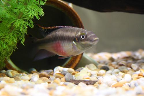 Kribensis Fish (0026)