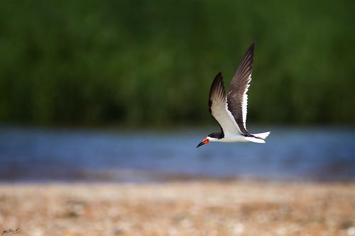 nature birds canon wildlife nj 7d skimmer blackskimmer raritanbay 600mm