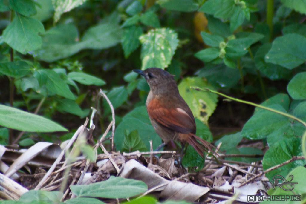Plain-crowned spinetail IMG_9601