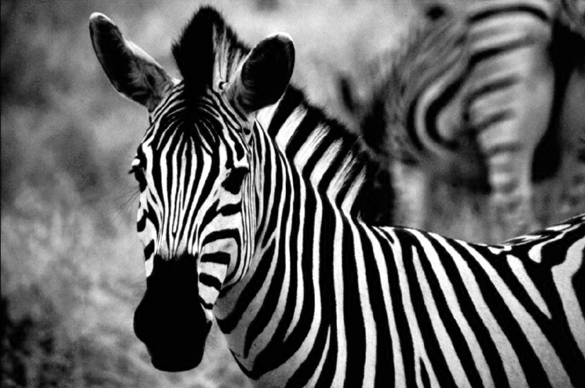 Zebra al Kruger Park - B&N