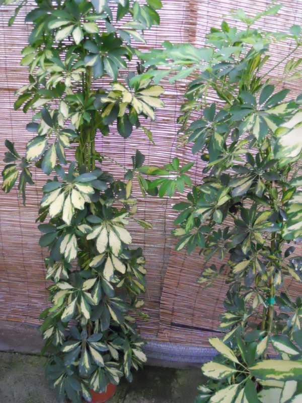 Schefflera arboricola 'Gold Capella' v 3