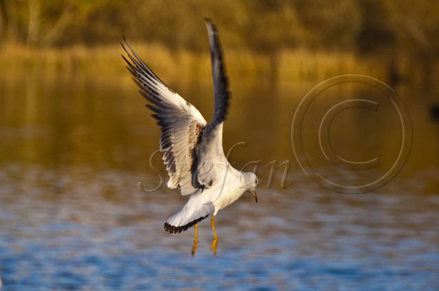 Chroicocephalus ridibundus / Black-headed gull / Skrattmås