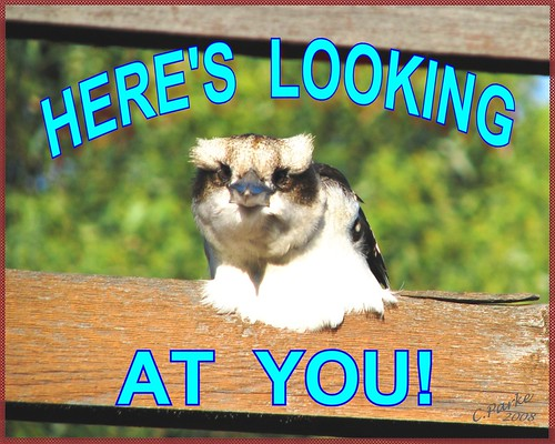 eCard - Love & Friendship- Kookaburra: Here's Looking at You JPEG | by you get the picture