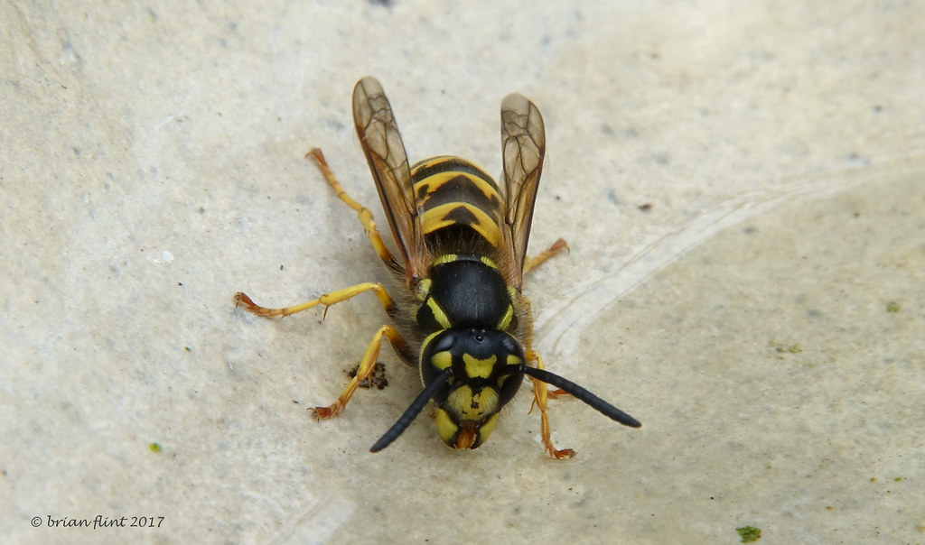 Wasp having a drink