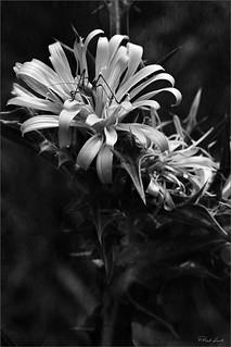 Scolimus hispanicus | by Giuseppe Quattrone