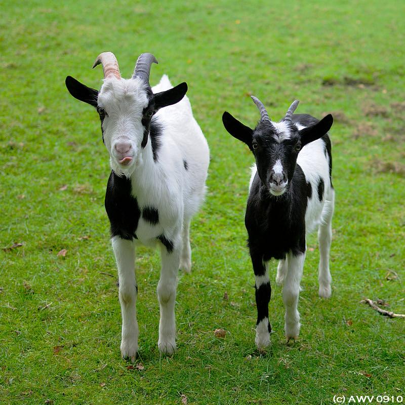 geiten - goats 1