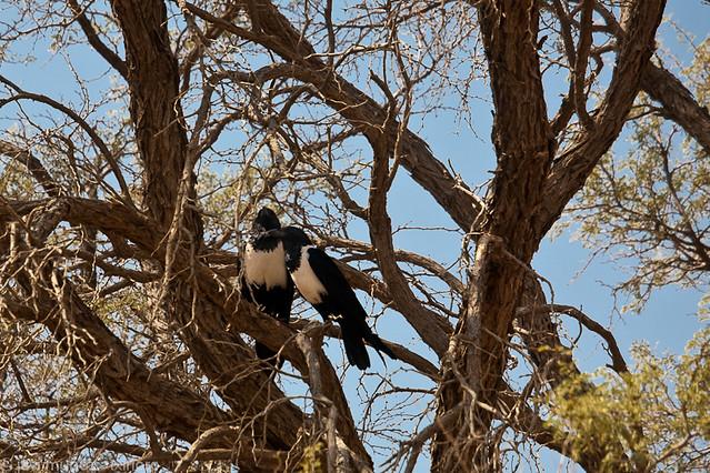 Animales avistados: Cuervo africano