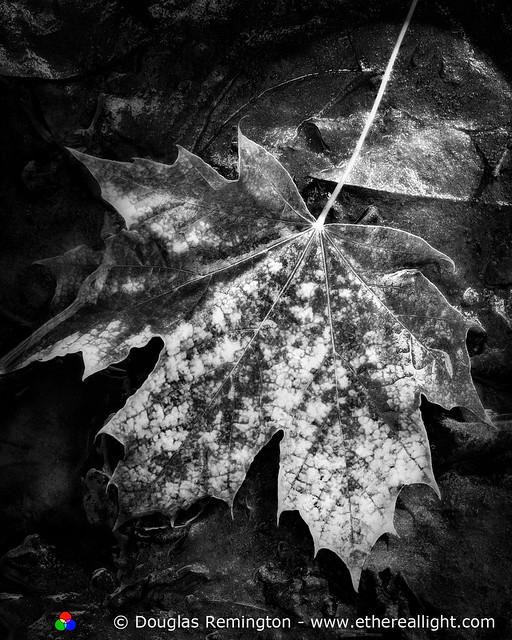 The Fallen. Western Maple Leaf, Oregon