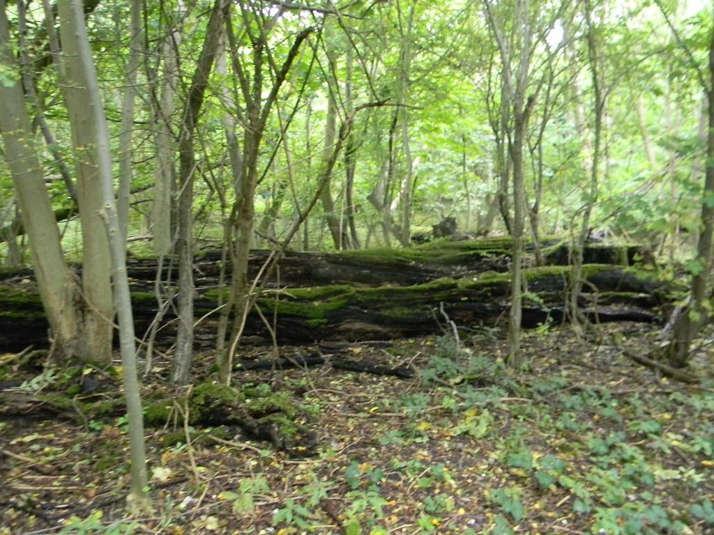 Fallen giant Box Hill Circular