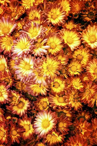 flowers fall halloween nikon fallcolors naturallight autumncolors wildflowers autumnflowers autumnfest brilliantcolors d300 homesteadgardens 1755nikkor induro davidsonvillemd annearundelcountymaryland markinballheads