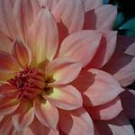 天竺牡丹 / Dahlia hybrida