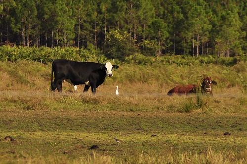 cattle cows florida farm