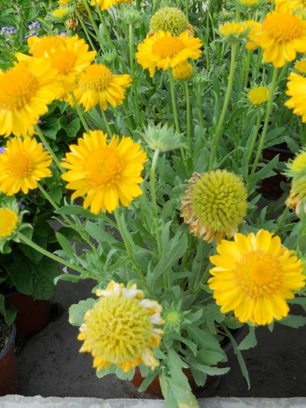 Gaillardia grandiflora v 1