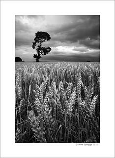 Lone Oak Tree 01