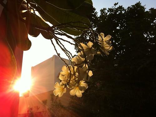 flowers sunrise plumeria frangipani mygarden