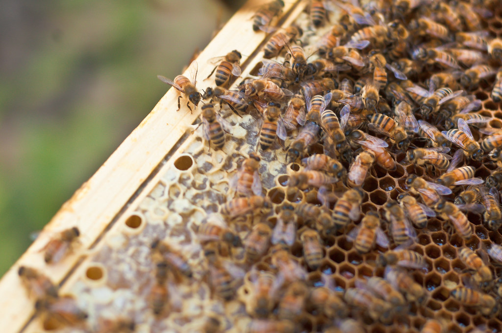 photo of honeybees