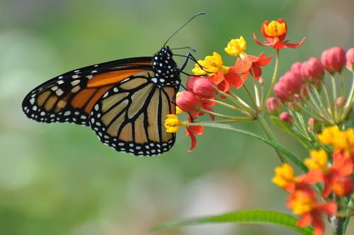 usa butterfly insect virginia va danaus monarchbutterfly danausplexippus clarkecounty blandyexperimentalfarm statearboretumofvirginia taxonomy:binomial=danausplexippus taxonomy:common=monarchbutterfly