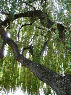 Willow, Strand-on-the-Green | by Loz Flowers