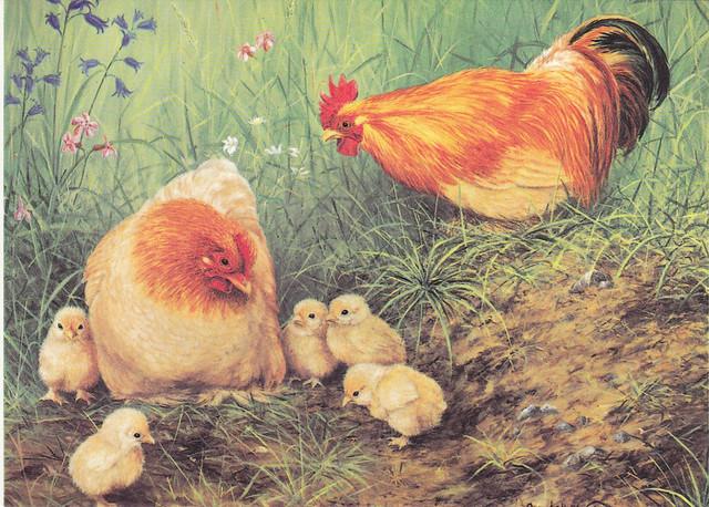 Buff Pekings With Chicks Painting Postcard