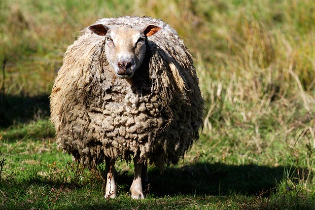 sheep - mouton