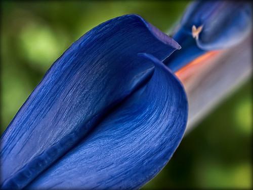 blue orange flora birdofparadise doublefantasy strelitziaregina ahqmacro olyblue floralfantasy12