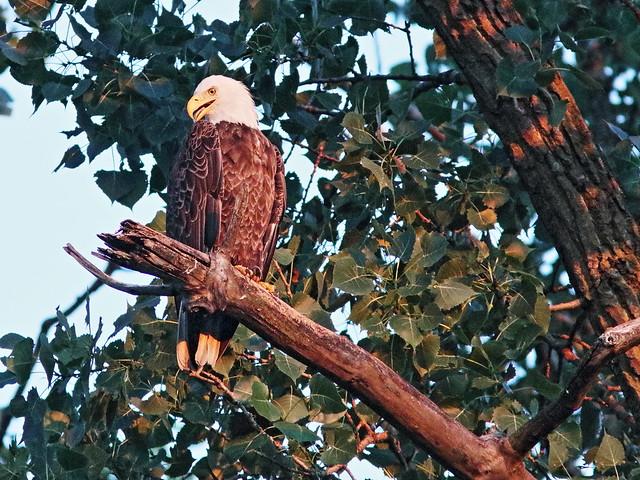Bald Eagle 05-20170701