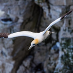 ff gannet